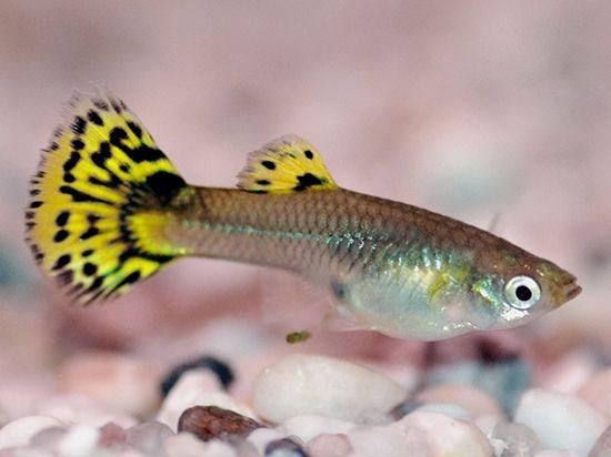 Акваріумні рибки гуппі: утримання та догляд