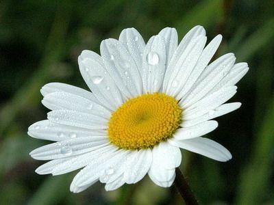 Цілюща ромашка: корисні властивості та протипоказання