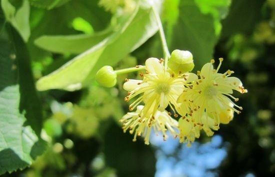 Квітки липи: корисні властивості та протипоказання, відгуки