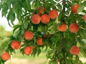 Хочеш бути здоровою? Візьми на озброєння персикове масло!