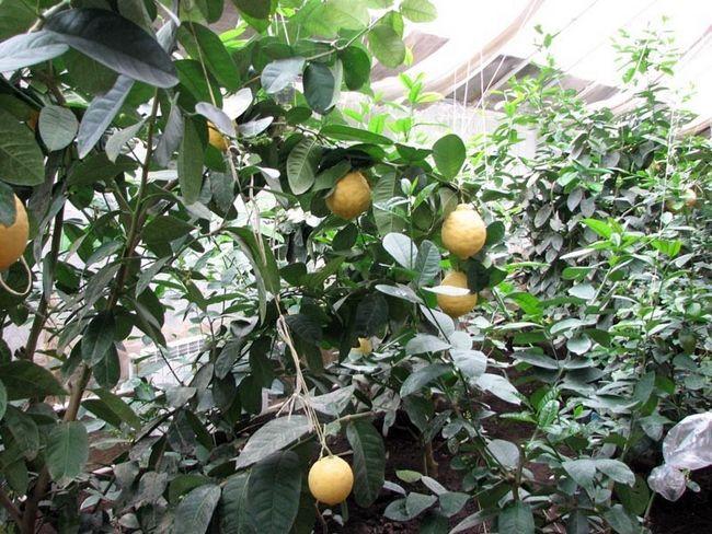 Чим корисний фрукт кивано?