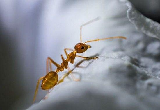 Як позбутися від рудих мурах в квартирі назавжди: хімічні і народні засоби захисту