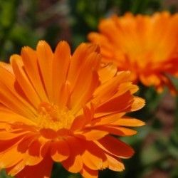 Календула - лікувальні властивості і протипоказання