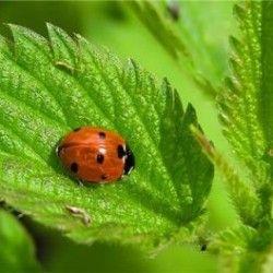 Кропива: всі лікувальні та корисні властивості рослини