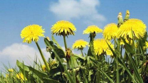 Лікувальні властивості квітів кульбаби: застосування в народній медицині