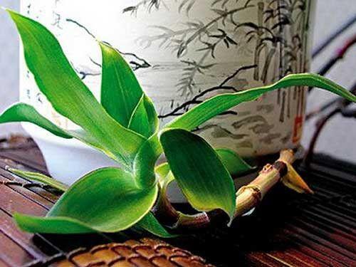 Настоянка із золотого вуса - джерело здоров`я