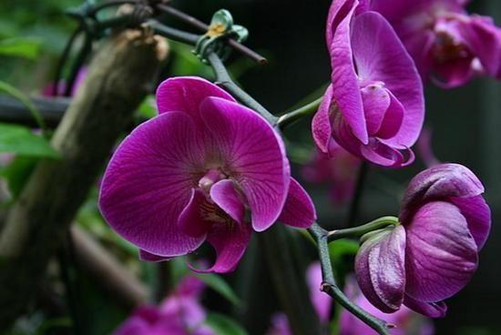 Орхідеї фаленопсис: догляд в домашніх умовах, особливості розмноження