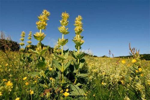 Особливості кореня тирличу жовтою, обмеження у використанні препаратів