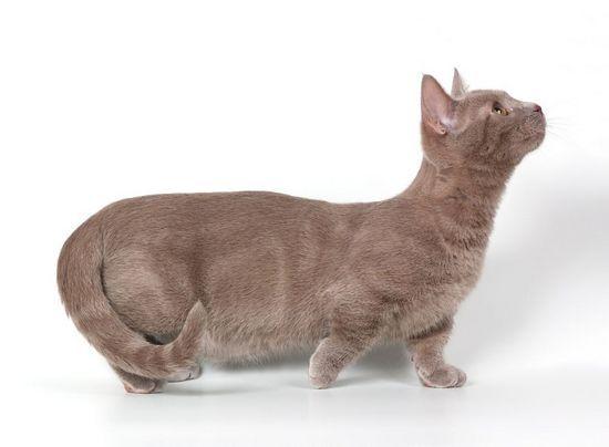 Порода кішок з короткими лапами: фото з описом і особливості догляду