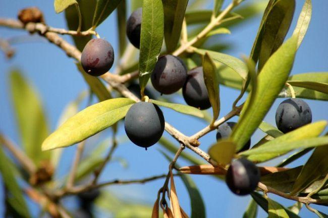 Застосування оливкового масла в косметології