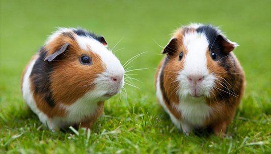Тривалість життя морських свинок: визначальні чинники в домашніх умовах