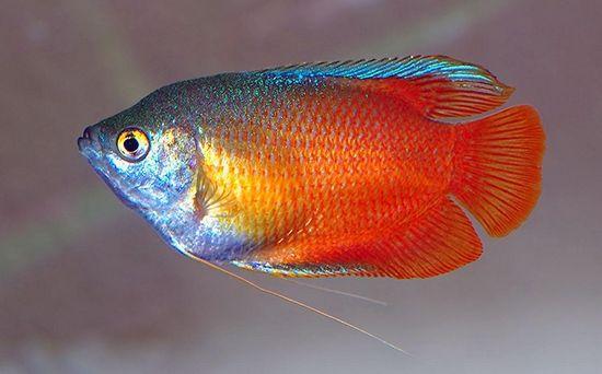 Рибка гурамі: догляд та утримання, сумісність з іншими рибами, фото