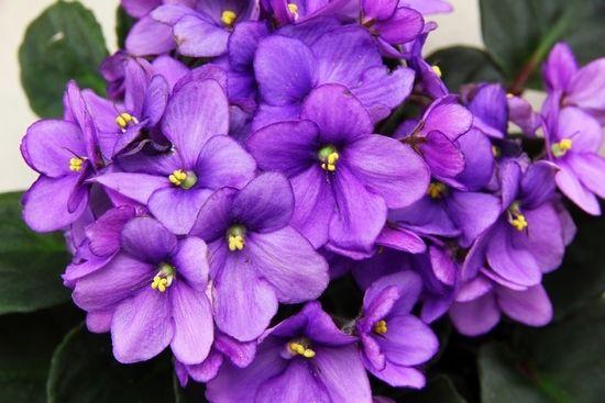Сенополія: назви (з фото), особливості вирощування та догляду
