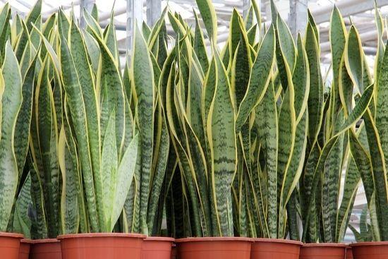 Щучий хвіст квітка: користь і шкода рослини, особливості догляду