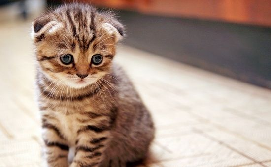 Шотландські висловухі кошенята: характер, догляд, утримання, харчування