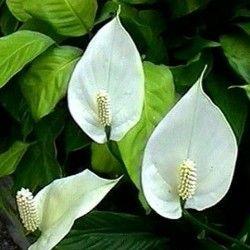 Спатифіллум: догляд за квіткою в домашніх умовах
