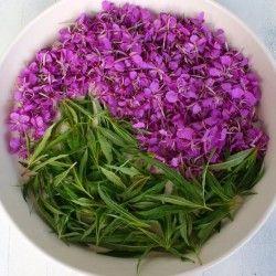 Трава іван-чай: лікувальні властивості рослини і його застосування