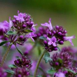 Чарівна рослина чебрець: корисні властивості, застосування і протипоказання